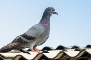 Pigeon Control, Pest Control in Ewell, Stoneleigh, KT17. Call Now 020 8166 9746
