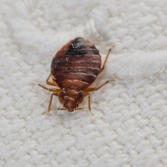 Bed Bugs, Pest Control in Ewell, Stoneleigh, KT17. Call Now! 020 8166 9746