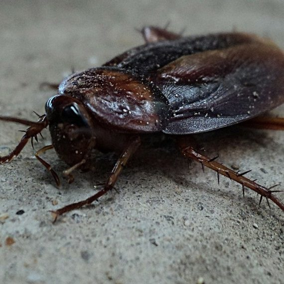 Cockroaches, Pest Control in Ewell, Stoneleigh, KT17. Call Now! 020 8166 9746