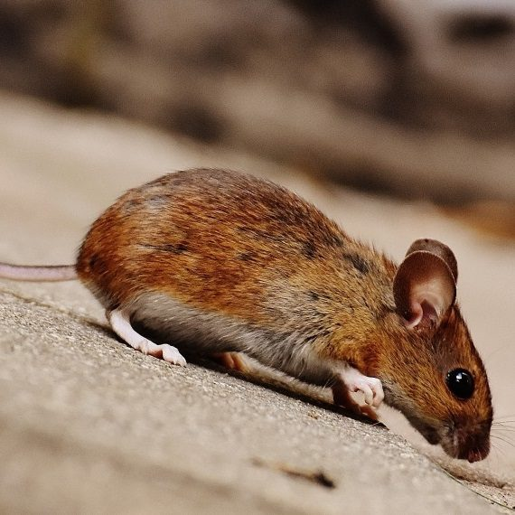 Mice, Pest Control in Ewell, Stoneleigh, KT17. Call Now! 020 8166 9746