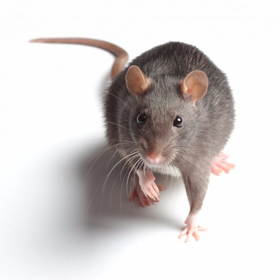 Rats, Pest Control in Ewell, Stoneleigh, KT17. Call Now! 020 8166 9746