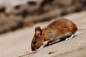 Mice Exterminator, Pest Control in Ewell, Stoneleigh, KT17. Call Now 020 8166 9746